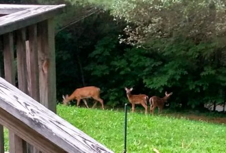 """""""Our Deer Friends"""" This doe and her two fawns are regulars on our front lawn in the afternoon."""